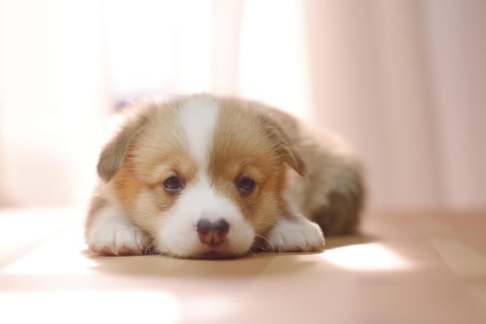 Corgi Puppy 4