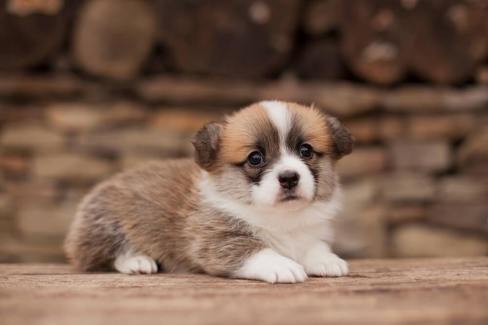 Corgi Puppy 5