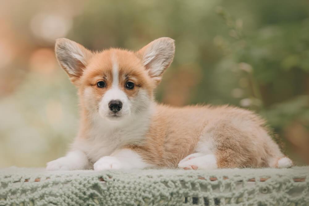 Corgi Puppy 7