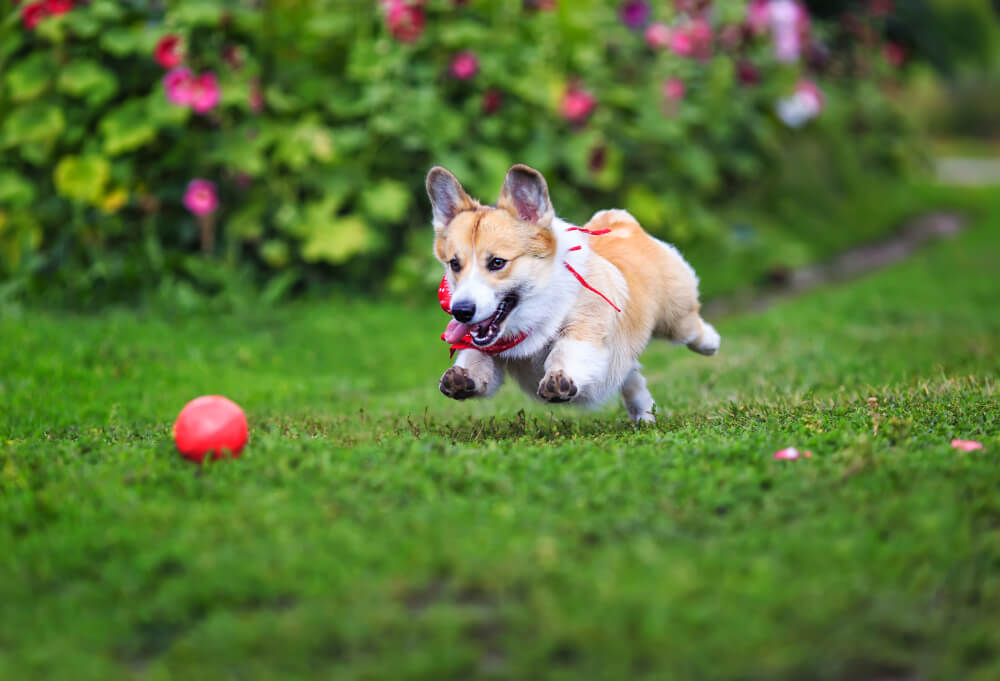 Corgis are playful and are always eager to please