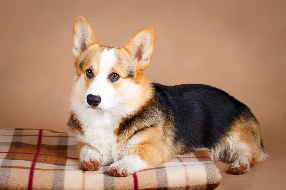 Corgis Are The Most Friendly Dogs