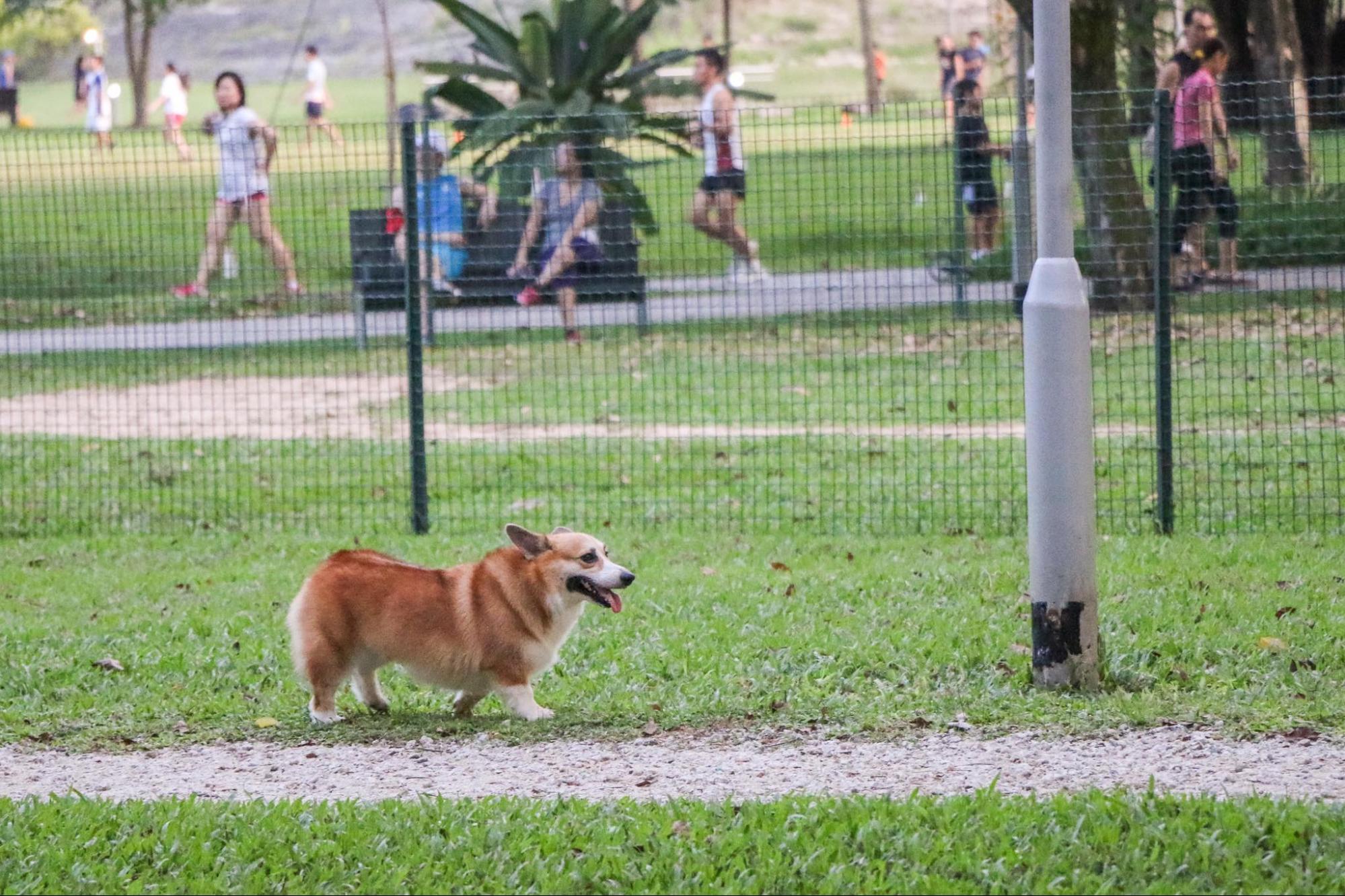 Corgi Are Easy To Train