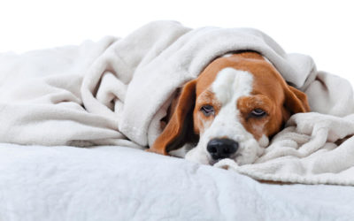 How to Tell If Your Dog Has a Cold? What to Do About It?