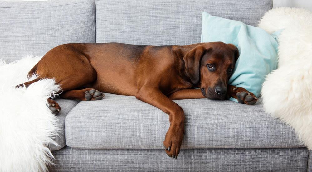 Pancreatitis in Dogs – Symptoms, Treatment & Prevention