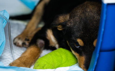 What Every Puppy Owner Needs to Know About Parvo in Puppies?