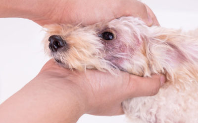 Could Your Dog Have a Yeast Infection?
